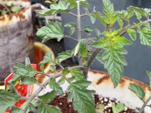 ミニトマトのつぼみ