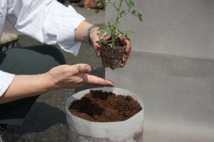 ミニトマトの定植1