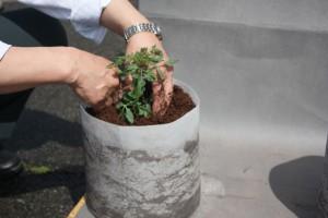 ミニトマトの定植2