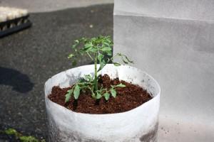 ミニトマト植えつけ