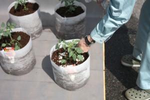 ミニトマトの定植3