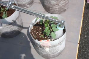 ミニトマトの定植4