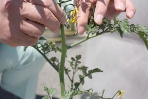 ミニトマトのわき芽