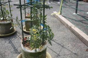 ミニトマトの支柱立て2