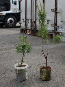 一年前に植えた抵抗性黒松(右)と今春植えた抵抗性黒松(左)