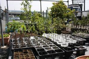 東北復興支援用の苗木