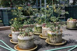 バイオマス栽培キットで栽培しているミニトマト
